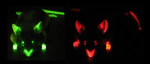 Green (GFP) and Red (DsRed) Fluorescent Mice
